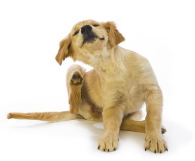 Puppy Scratching fleas